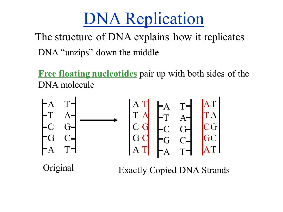 Dna worksheet structure of dna and replication answer key