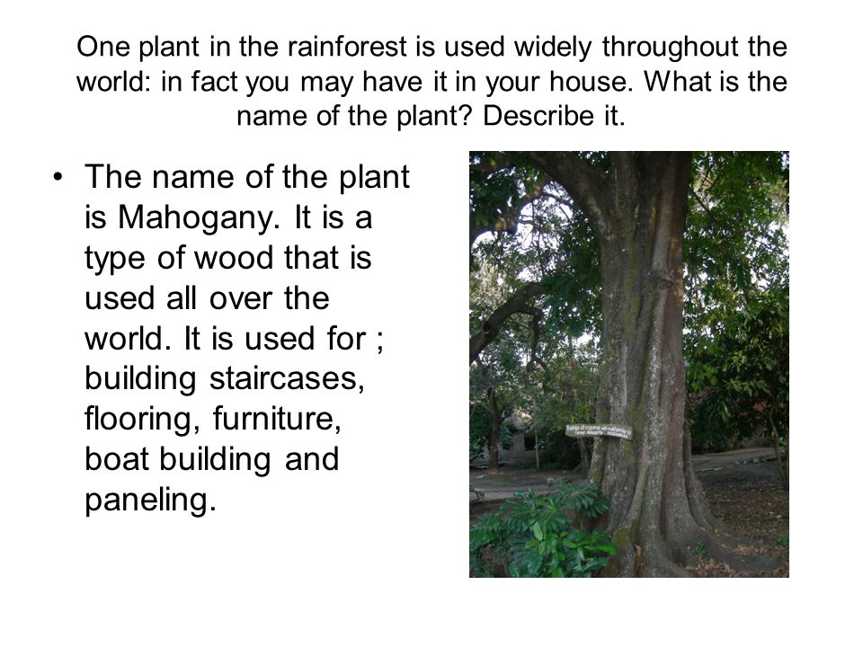 One plant in the rainforest is used widely throughout the world: in fact you may have it in your house.