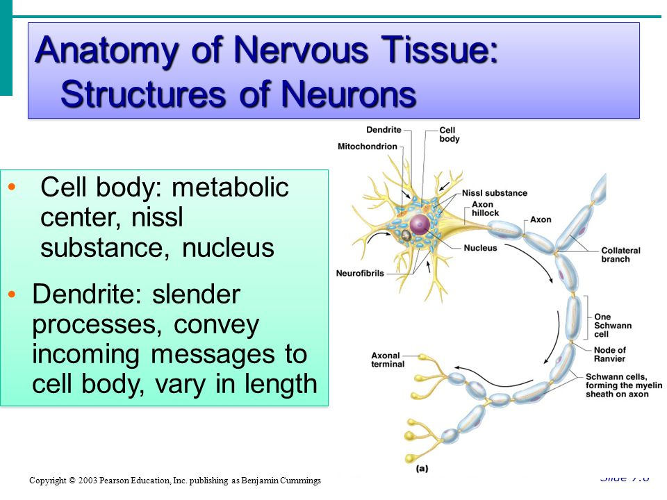 Anatomy of Nervous Tissue: Structures of Neurons Slide 7.8 Copyright © 2003 Pearson Education, Inc.