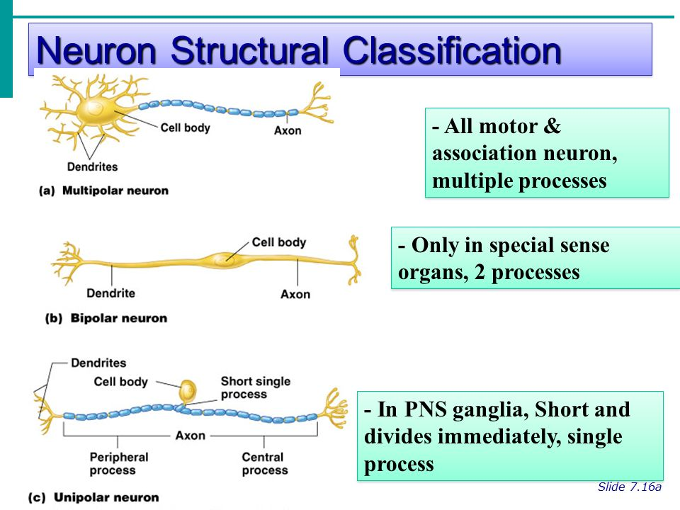 Neuron Structural Classification Slide 7.16a Figure 7.8a - All motor & association neuron, multiple processes - Only in special sense organs, 2 processes - In PNS ganglia, Short and divides immediately, single process