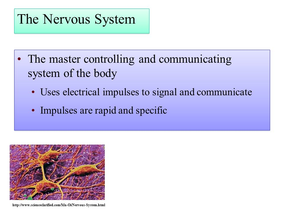 The Nervous System The master controlling and communicating system of the body Uses electrical impulses to signal and communicate Impulses are rapid and specific The master controlling and communicating system of the body Uses electrical impulses to signal and communicate Impulses are rapid and specific