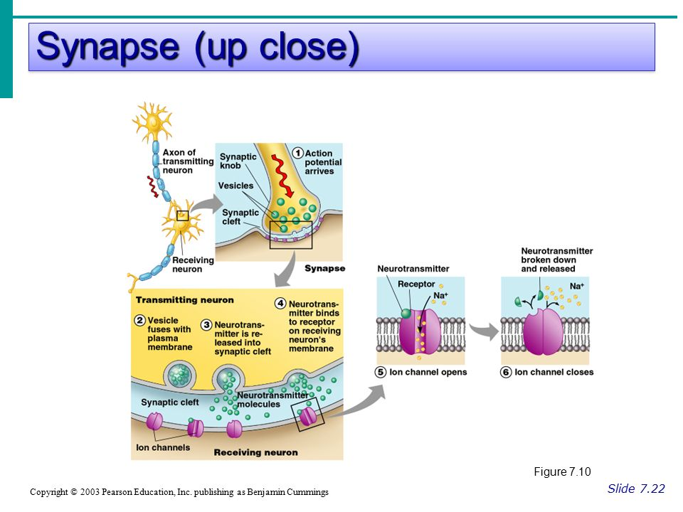 Synapse (up close) Slide 7.22 Copyright © 2003 Pearson Education, Inc.