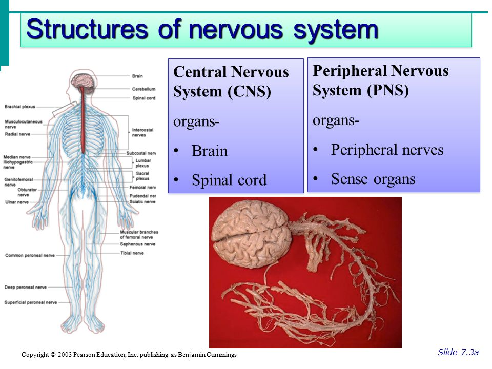 Structures of nervous system Slide 7.3a Copyright © 2003 Pearson Education, Inc.