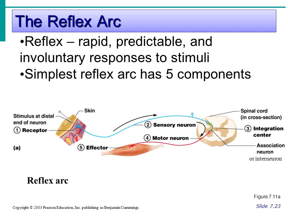 The Reflex Arc Slide 7.23 Copyright © 2003 Pearson Education, Inc.