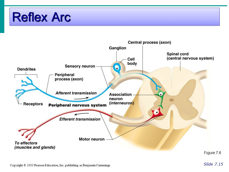 Reflex Arc Slide 7.15 Copyright © 2003 Pearson Education, Inc.