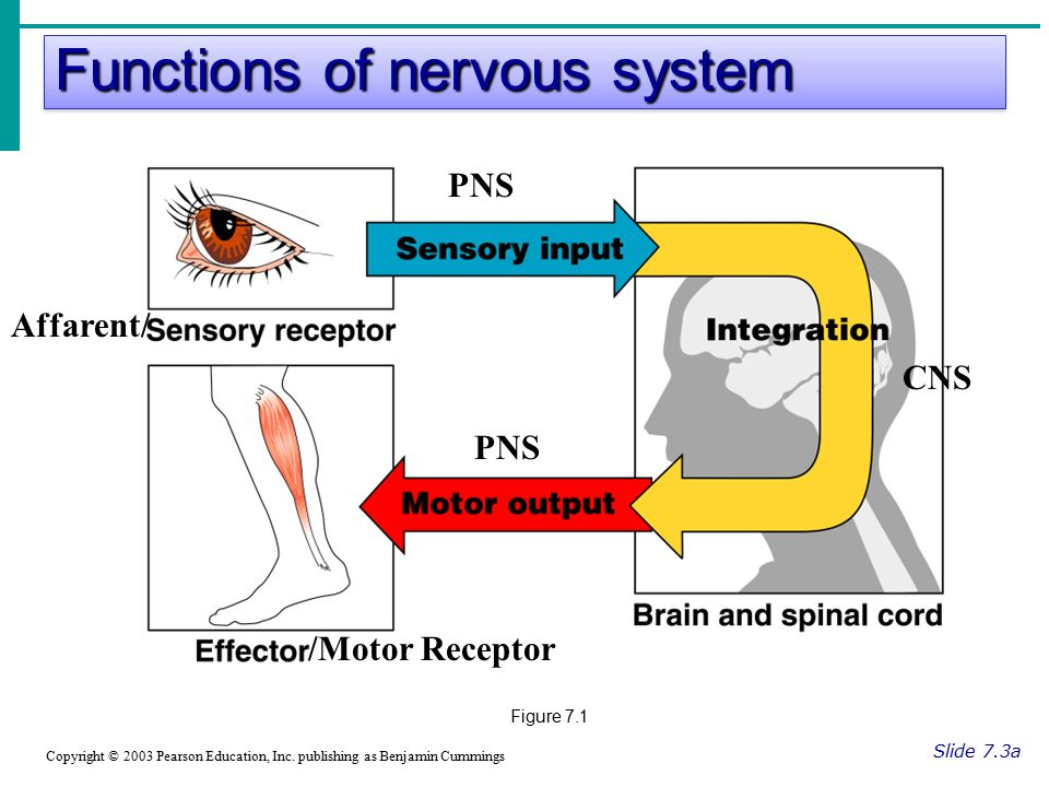 Functions of nervous system Slide 7.3a Copyright © 2003 Pearson Education, Inc.