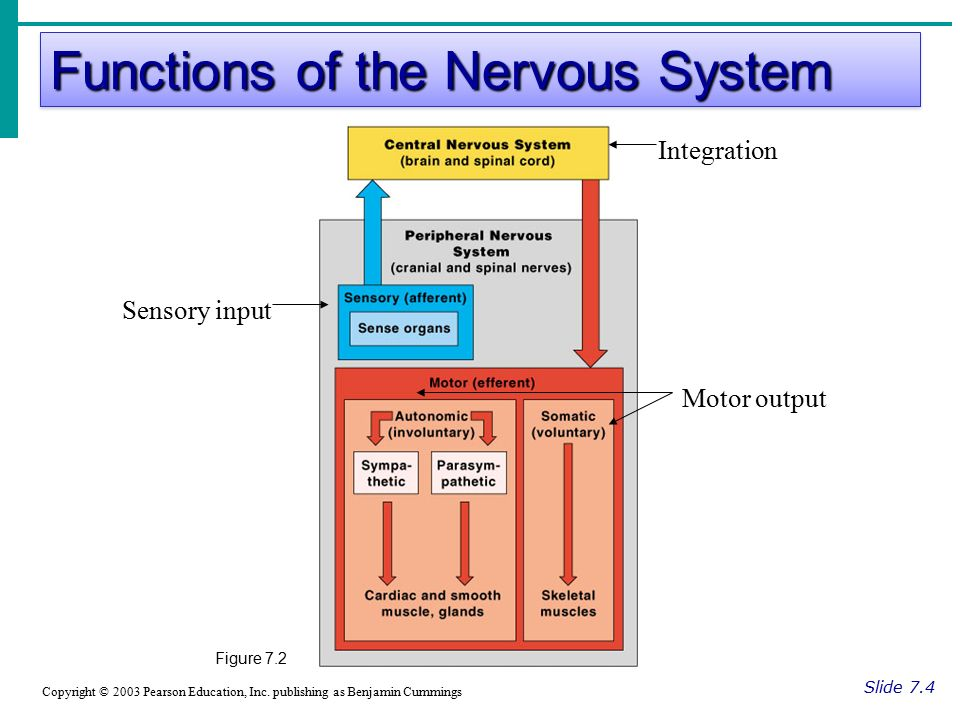 Functions of the Nervous System Slide 7.4 Copyright © 2003 Pearson Education, Inc.