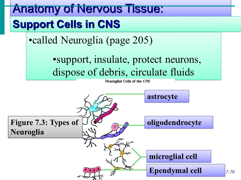 Anatomy of Nervous Tissue: Slide 7.7b called Neuroglia (page 205) support, insulate, protect neurons, dispose of debris, circulate fluids called Neuroglia (page 205) support, insulate, protect neurons, dispose of debris, circulate fluids Support Cells in CNS astrocyte oligodendrocyte microglial cell Ependymal cell Figure 7.3: Types of Neuroglia