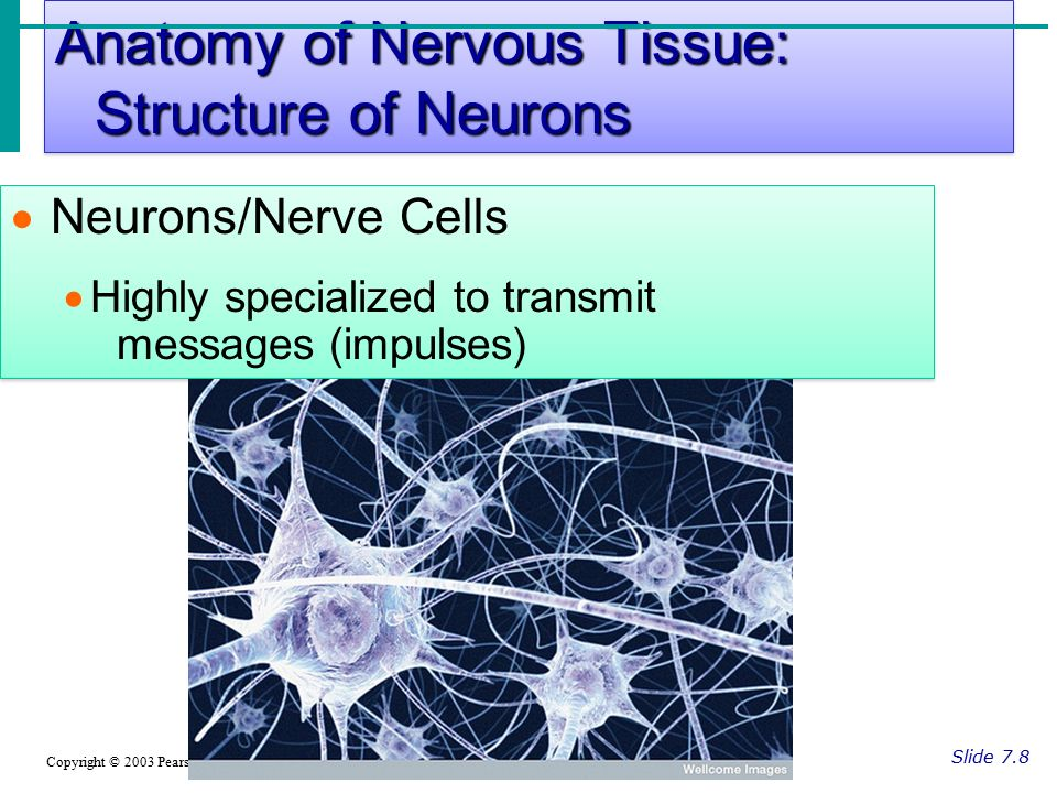 Anatomy of Nervous Tissue: Structure of Neurons Slide 7.8 Copyright © 2003 Pearson Education, Inc.