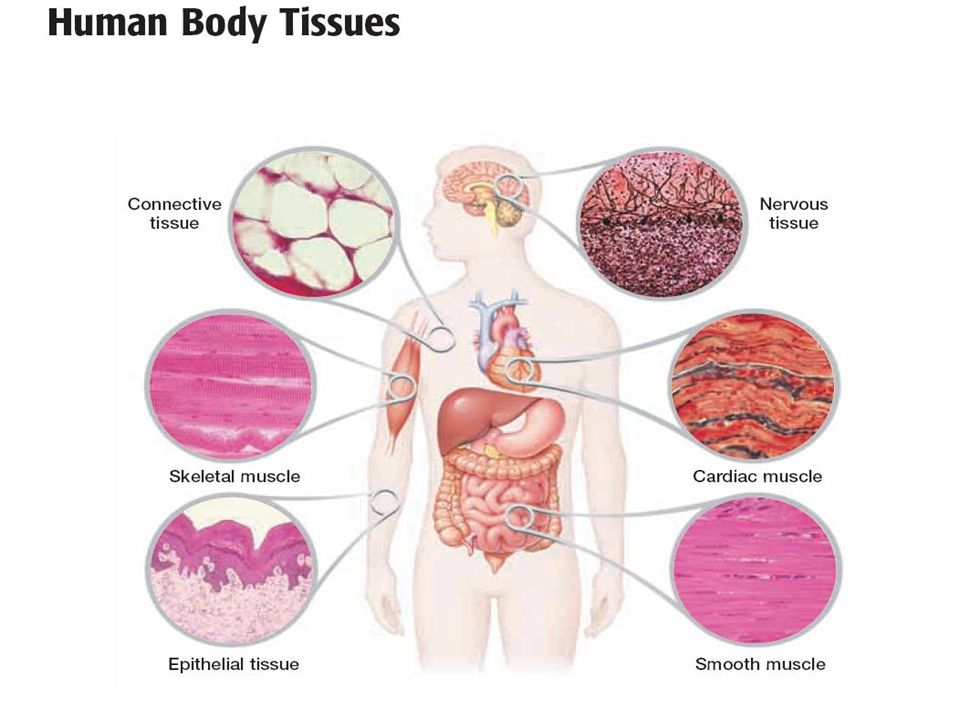 From Cells To Organ Systems Cells Combine To Form Tissues And