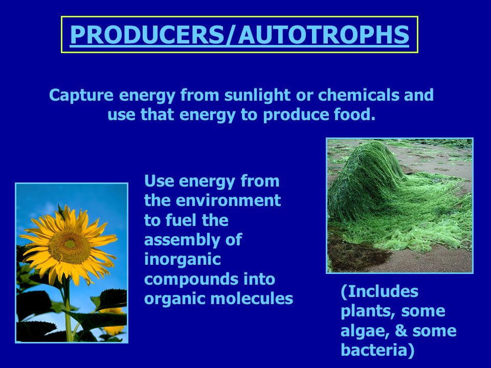Capture energy from sunlight or chemicals and use that energy to produce food.