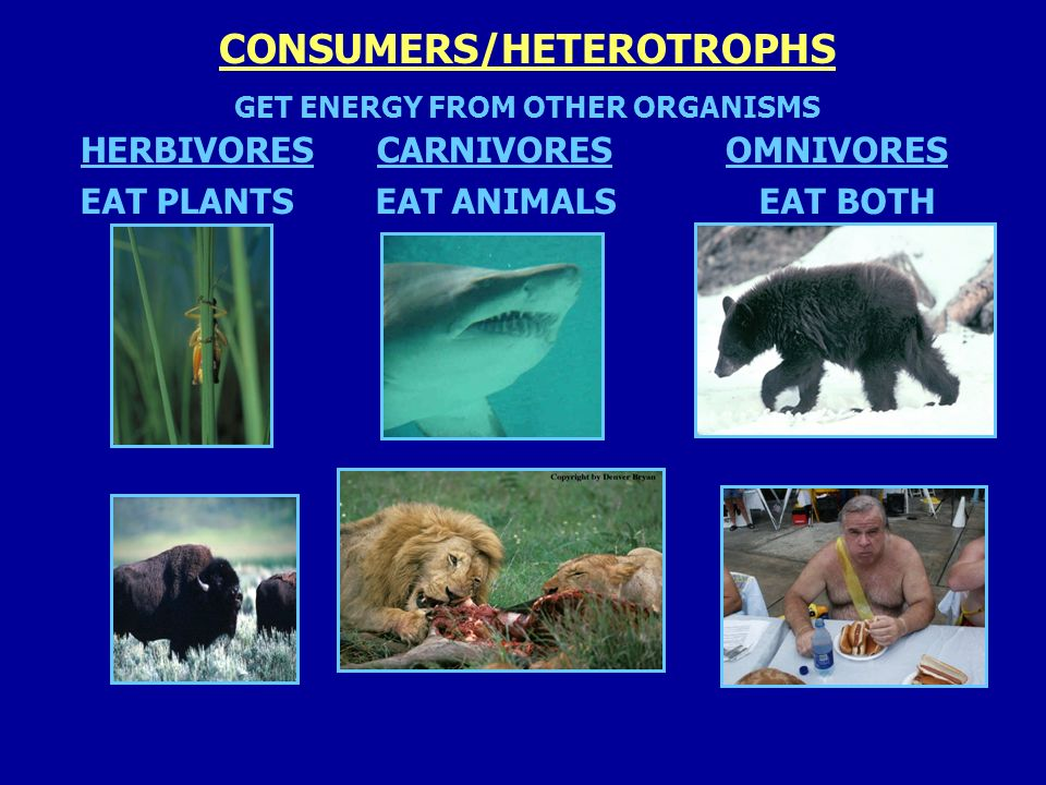 CONSUMERS/HETEROTROPHS GET ENERGY FROM OTHER ORGANISMS HERBIVORESCARNIVORESOMNIVORES EAT PLANTS EAT ANIMALS EAT BOTH