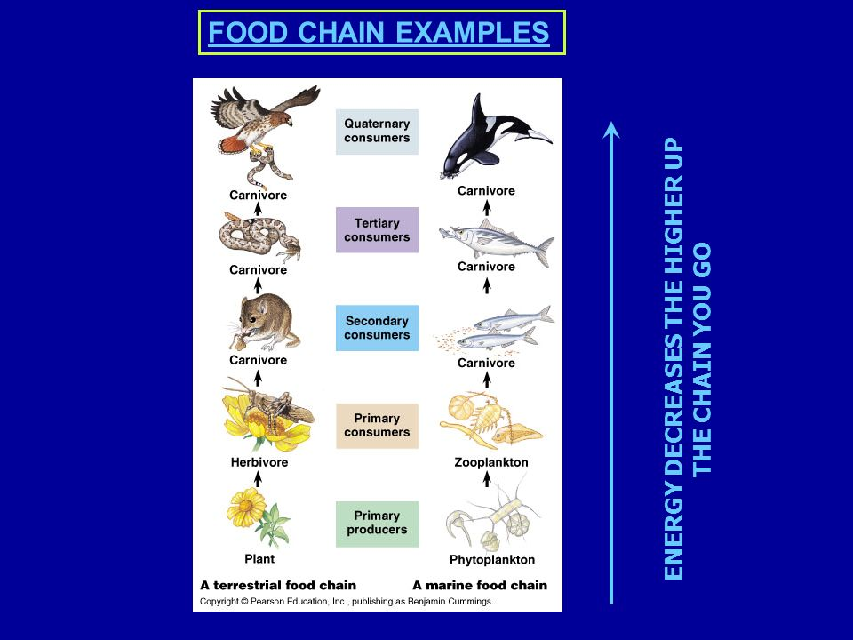 ENERGY DECREASES THE HIGHER UP THE CHAIN YOU GO FOOD CHAIN EXAMPLES