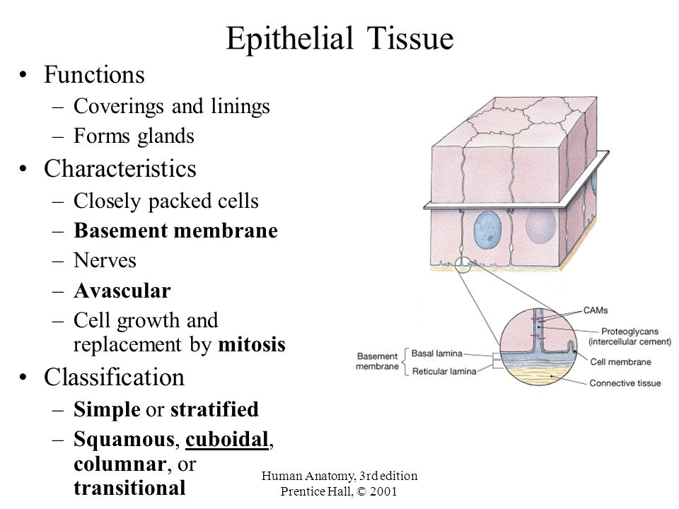The Tissue Level Of Organization Chapter 3 Tissue Definition An