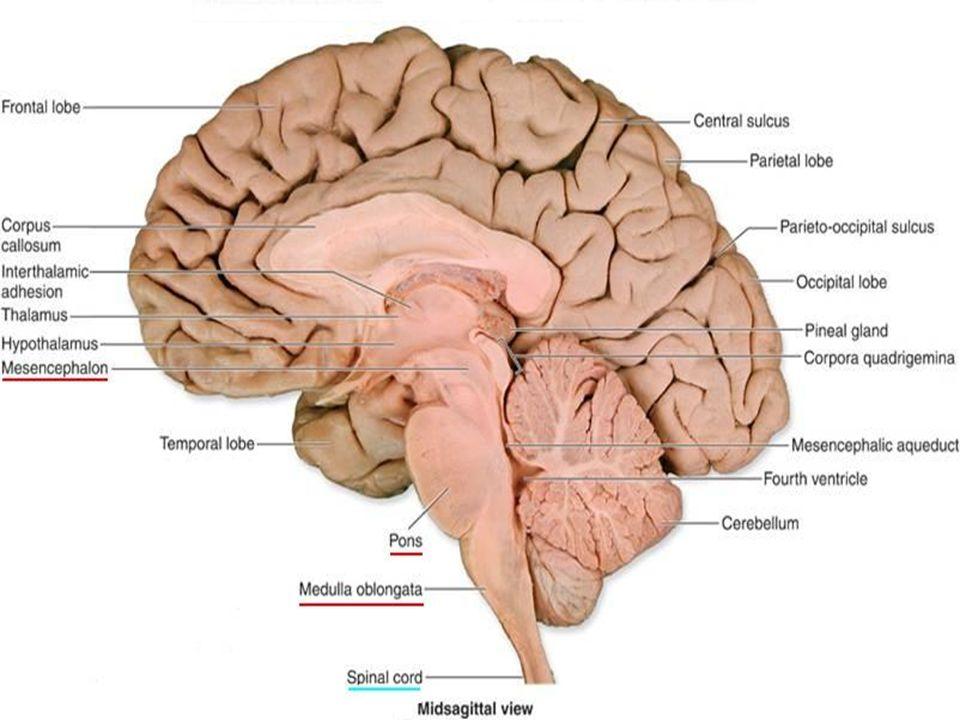 Anatomy Of The Brain Stem Ppt Video Online Download