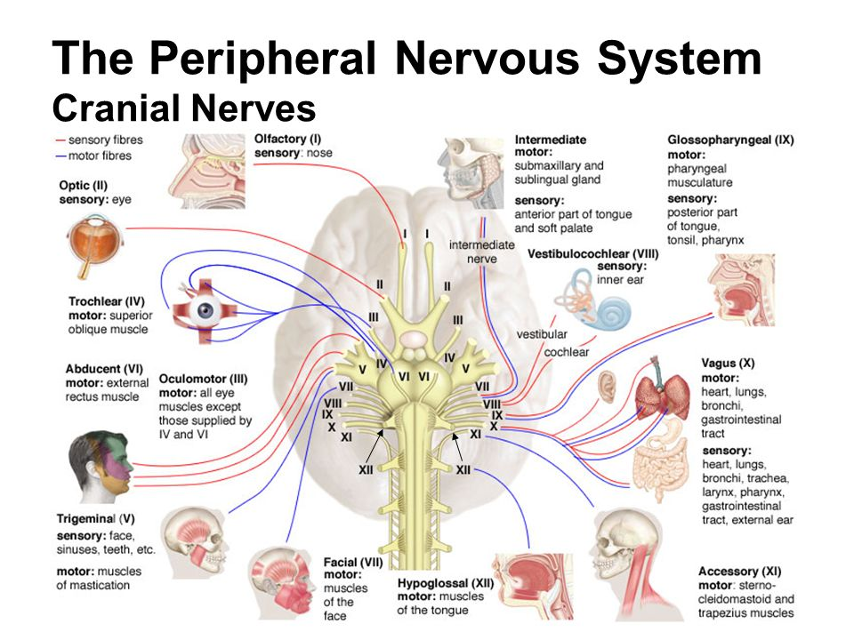 Peripheral Nervous System (PNS) - Cranial Nerves and it's Reflexes ...