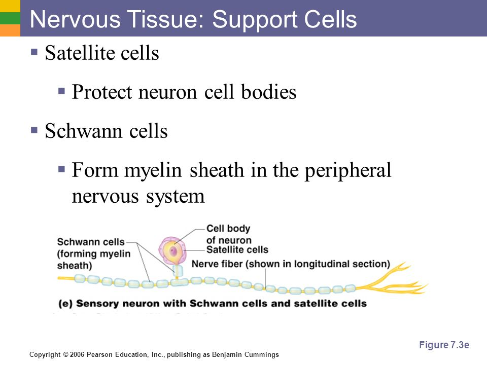 Copyright © 2006 Pearson Education, Inc., publishing as Benjamin Cummings Figure 7.3e Nervous Tissue: Support Cells  Satellite cells  Protect neuron cell bodies  Schwann cells  Form myelin sheath in the peripheral nervous system