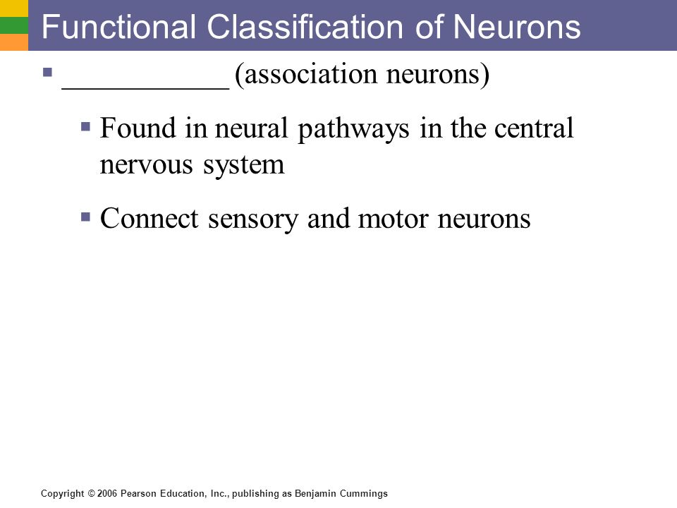 Copyright © 2006 Pearson Education, Inc., publishing as Benjamin Cummings Functional Classification of Neurons  ___________ (association neurons)  Found in neural pathways in the central nervous system  Connect sensory and motor neurons