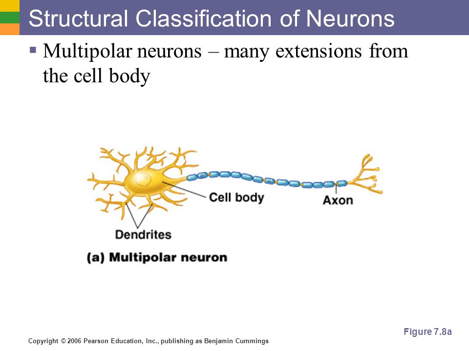 Copyright © 2006 Pearson Education, Inc., publishing as Benjamin Cummings Structural Classification of Neurons  Multipolar neurons – many extensions from the cell body Figure 7.8a