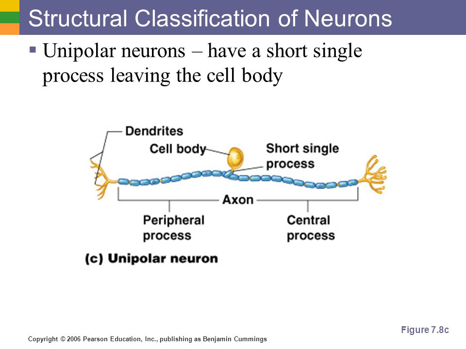 Copyright © 2006 Pearson Education, Inc., publishing as Benjamin Cummings Structural Classification of Neurons  Unipolar neurons – have a short single process leaving the cell body Figure 7.8c