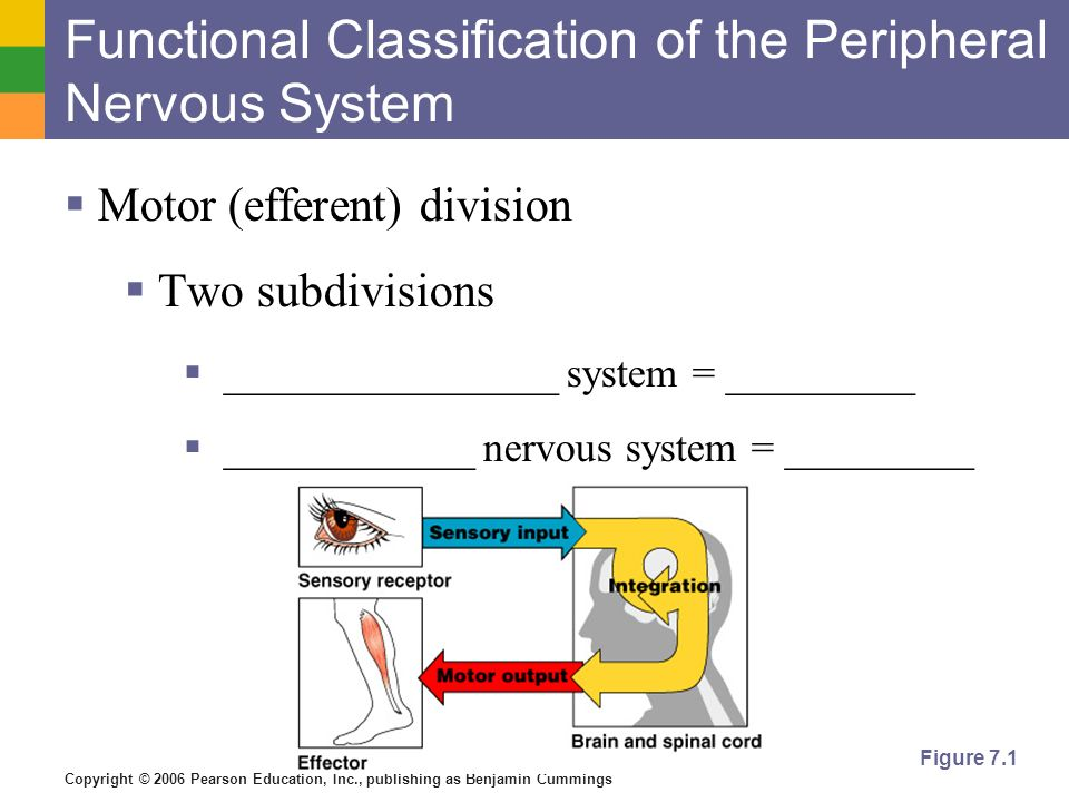 Copyright © 2006 Pearson Education, Inc., publishing as Benjamin Cummings Figure 7.1 Functional Classification of the Peripheral Nervous System  Motor (efferent) division  Two subdivisions  ________________ system = _________  ____________ nervous system = _________