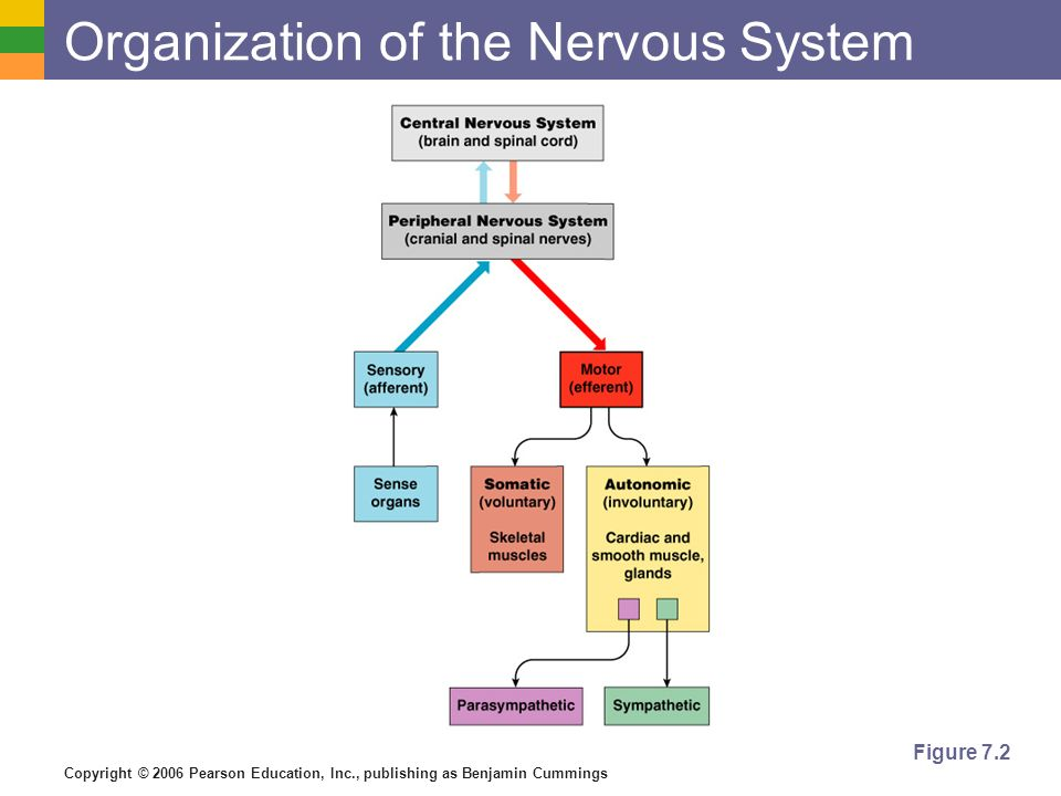 Copyright © 2006 Pearson Education, Inc., publishing as Benjamin Cummings Organization of the Nervous System Figure 7.2
