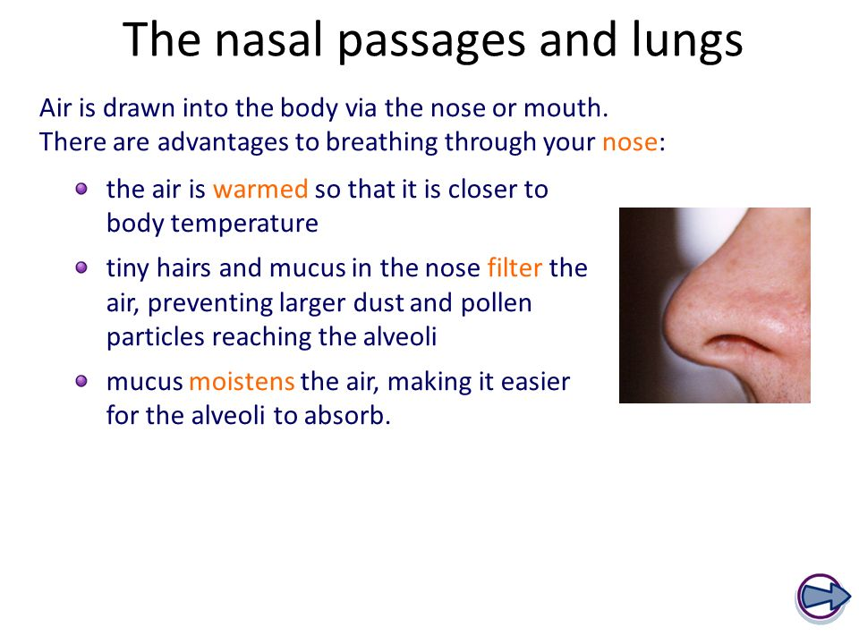 The nasal passages and lungs Air is drawn into the body via the nose or mouth.