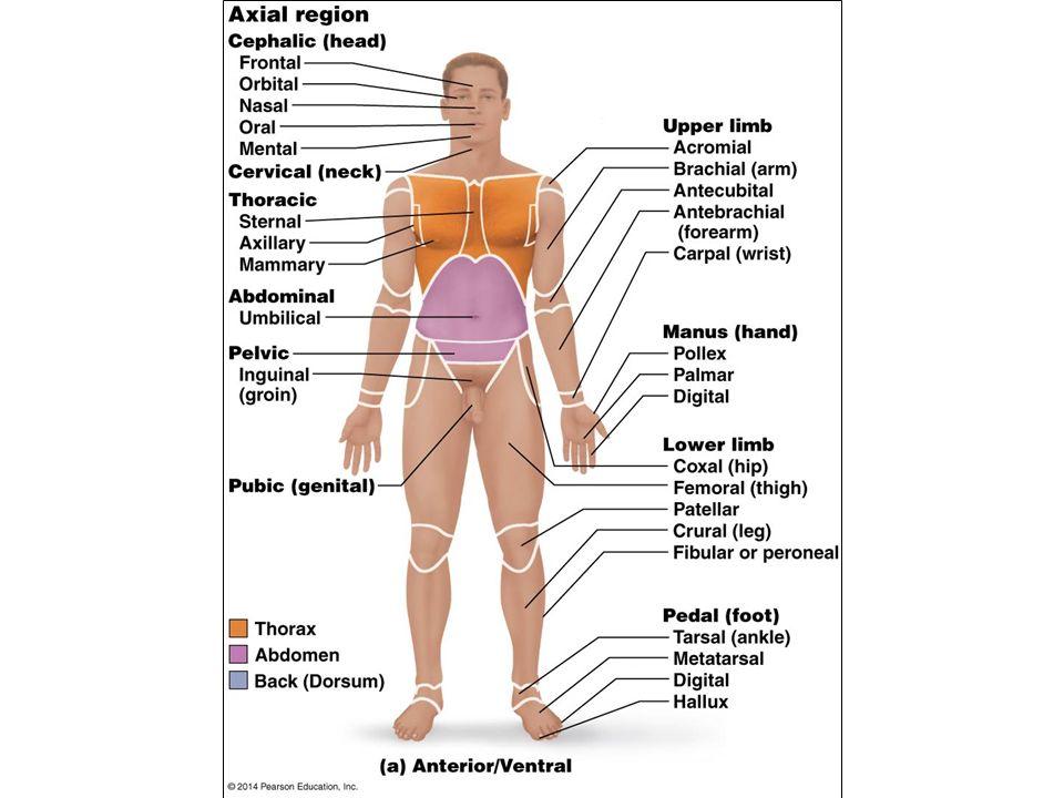 Berühmt Ventrale Definition Anatomie Galerie - Anatomie und ...