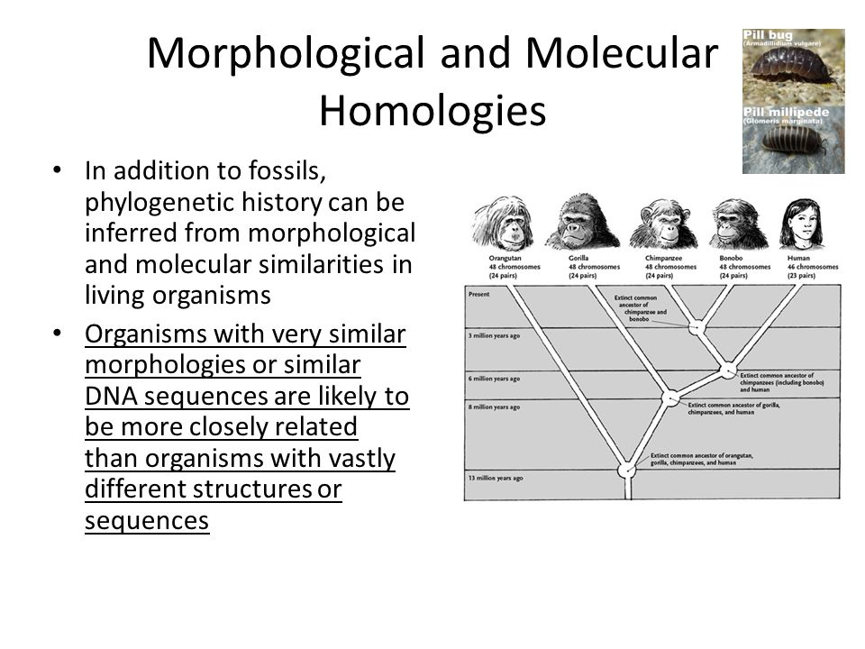 Morphological and Molecular Homologies In addition to fossils, phylogenetic history can be inferred from morphological and molecular similarities in living organisms Organisms with very similar morphologies or similar DNA sequences are likely to be more closely related than organisms with vastly different structures or sequences