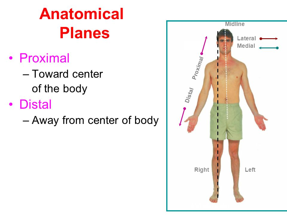 Unique What Does Distal Mean In Anatomy Gift - Anatomy And ...