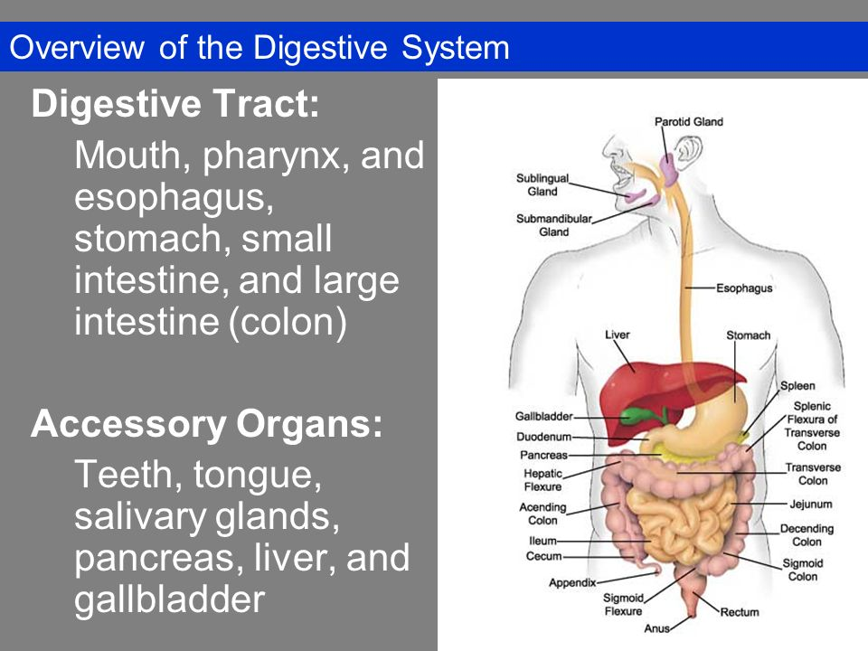 The Digestive System Overview Of The Digestive System Digestive