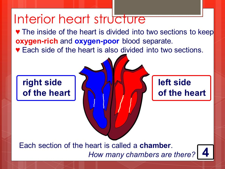 ♥ The inside of the heart is divided into two sections to keep oxygen-rich and oxygen-poor blood separate.