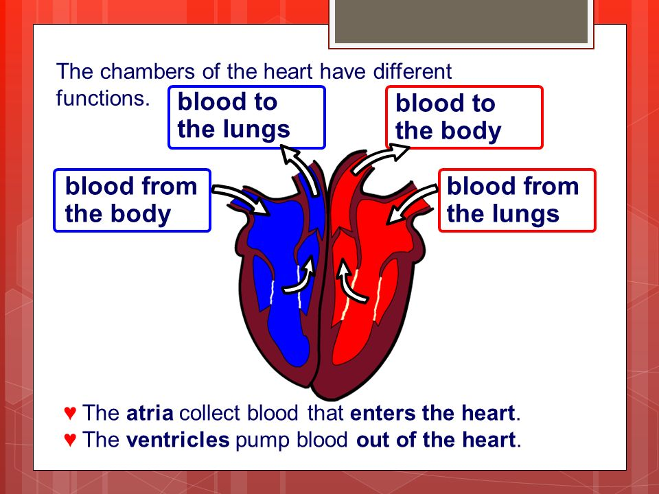 The chambers of the heart have different functions.