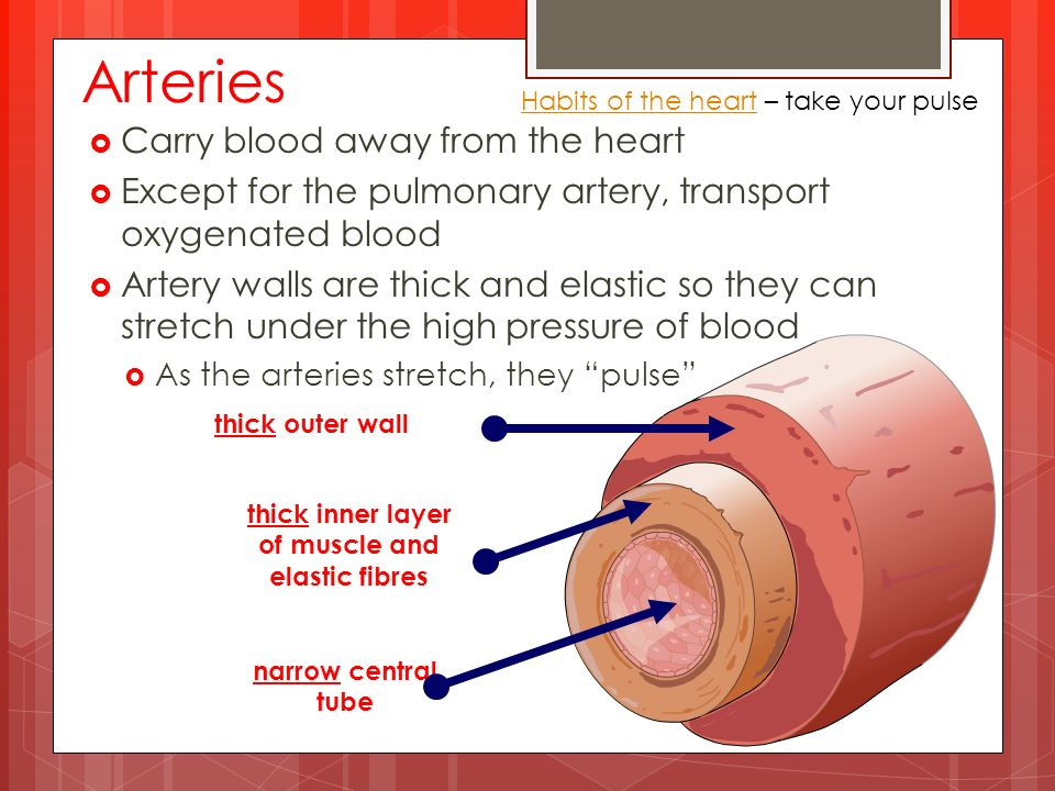 Arteries  Carry blood away from the heart  Except for the pulmonary artery, transport oxygenated blood  Artery walls are thick and elastic so they can stretch under the high pressure of blood  As the arteries stretch, they pulse Habits of the heartHabits of the heart – take your pulse thick outer wall thick inner layer of muscle and elastic fibres narrow central tube