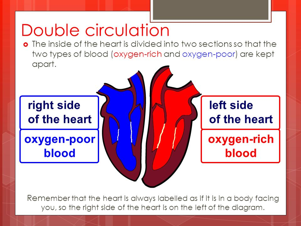  The inside of the heart is divided into two sections so that the two types of blood (oxygen-rich and oxygen-poor) are kept apart.