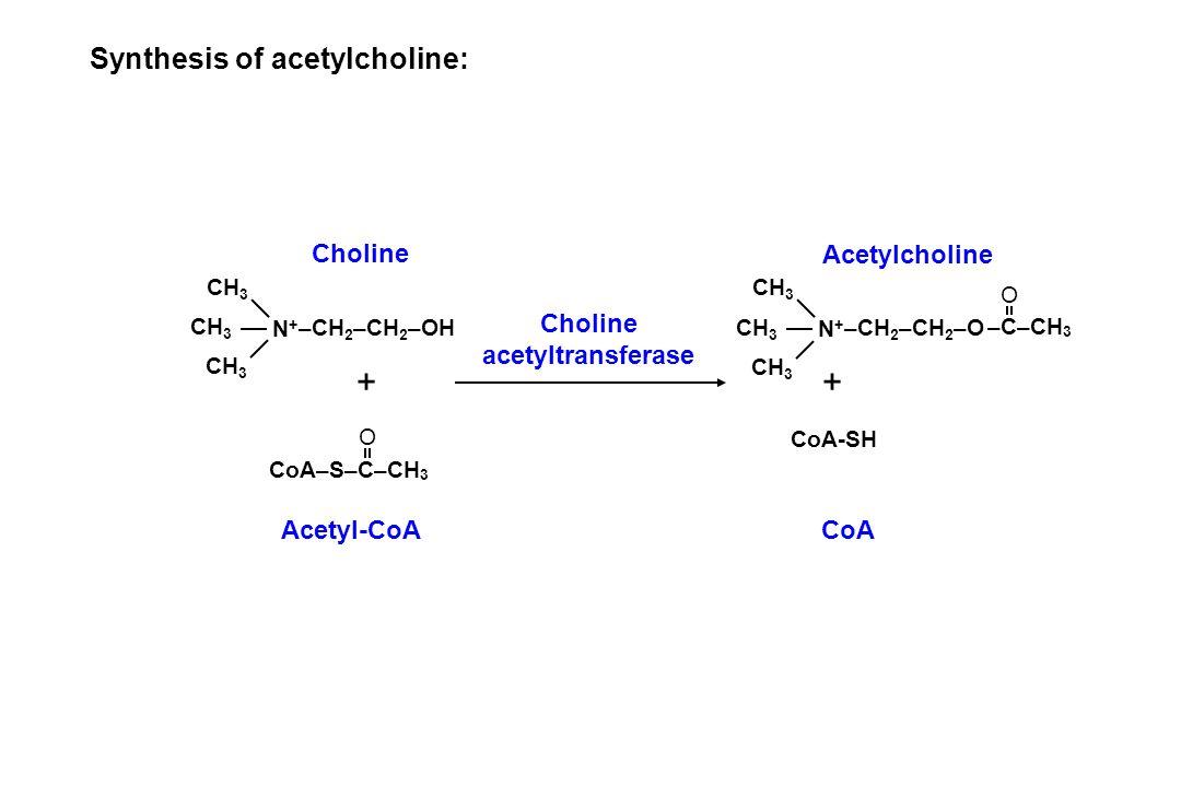 Synthesis of acetylcholine: CH 3 N+N+ –CH 2 –CH 2 –OH CoA–S–C–CH 3 O Choline Acetyl-CoA + Choline acetyltransferase CH 3 N+N+ –CH 2 –CH 2 –O –C–CH 3 O