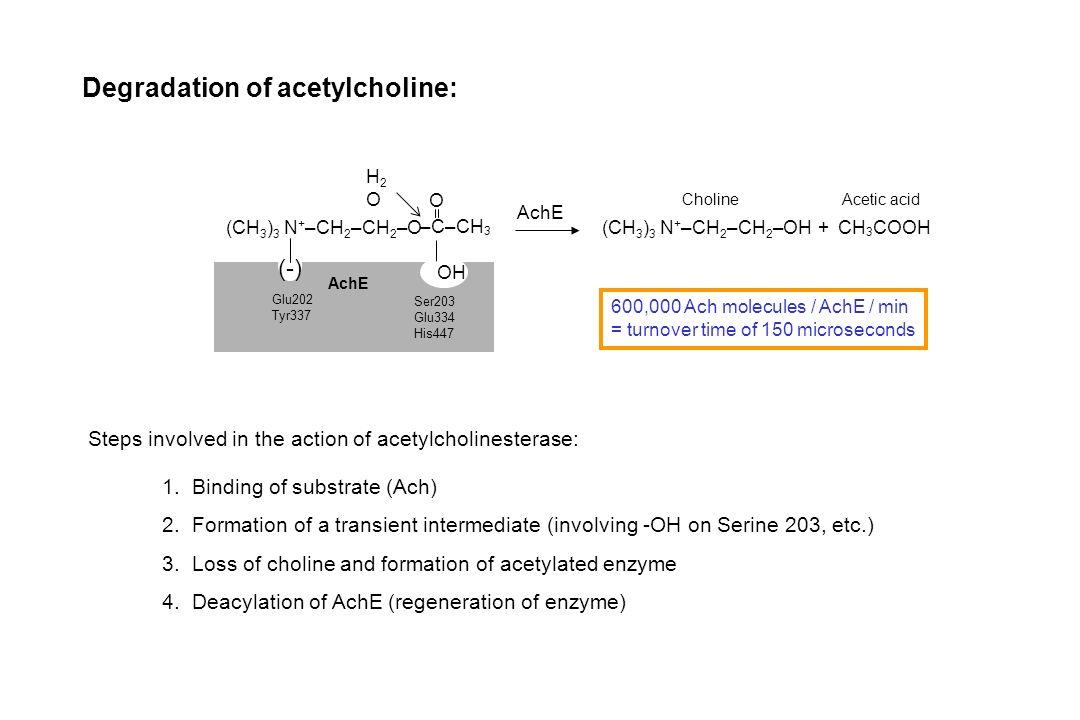 CH 3 COOH + AchE (CH 3 ) 3 N + –CH 2 –CH 2 –OH (CH 3 ) 3 N + –CH 2 –CH 2 –O –C–CH 3 O H2OH2O OH (-) AchE Glu202 Tyr337 Ser203 Glu334 His447 Degradatio