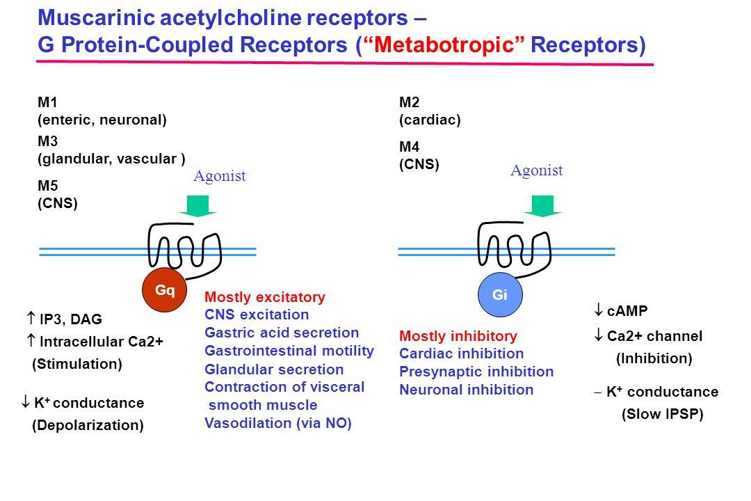 "Agonist Muscarinic acetylcholine receptors – G Protein-Coupled Receptors (""Metabotropic"" Receptors) Agonist M1 (enteric, neuronal) M2 (cardiac) M3 (gl"