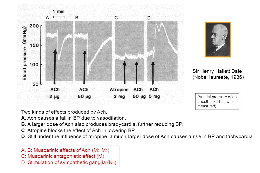 Two kinds of effects produced by Ach. A. Ach causes a fall in BP due to vasodilation. B. A larger dose of Ach also produces bradycardia, further reduc
