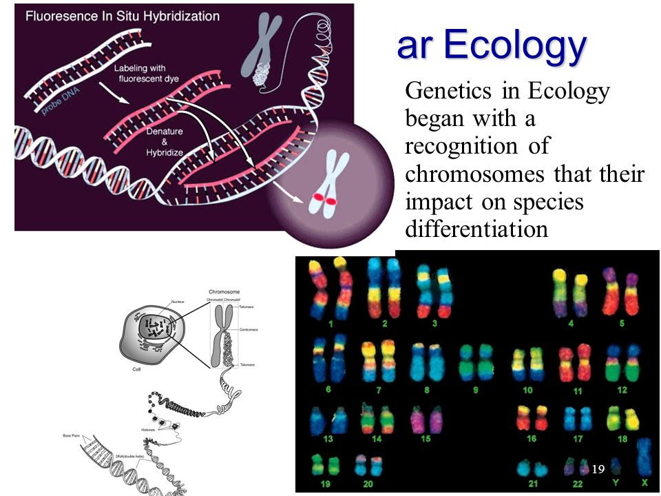 19 History of Molecular Ecology Genetics in Ecology began with a  recognition of chromosomes that their impact on species differentiation 19