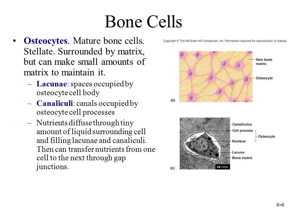 Anatomy Ch. 7 Flashcards Quizlet