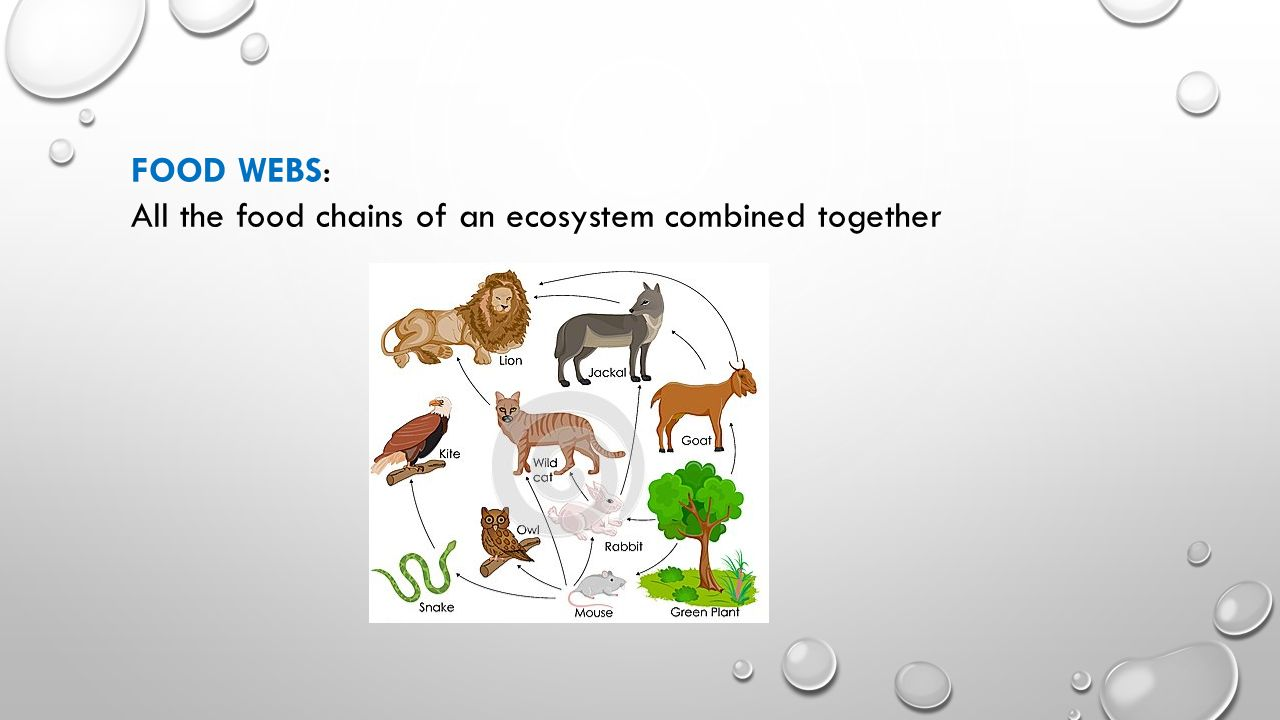 FOOD WEBS: All the food chains of an ecosystem combined together