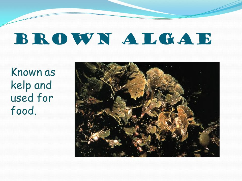 Brown Algae Known as kelp and used for food.