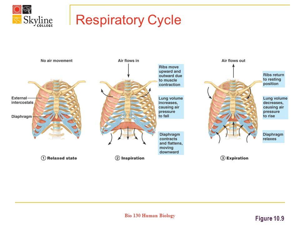 Bio 130 Human Biology Respiratory Cycle Figure 10.9