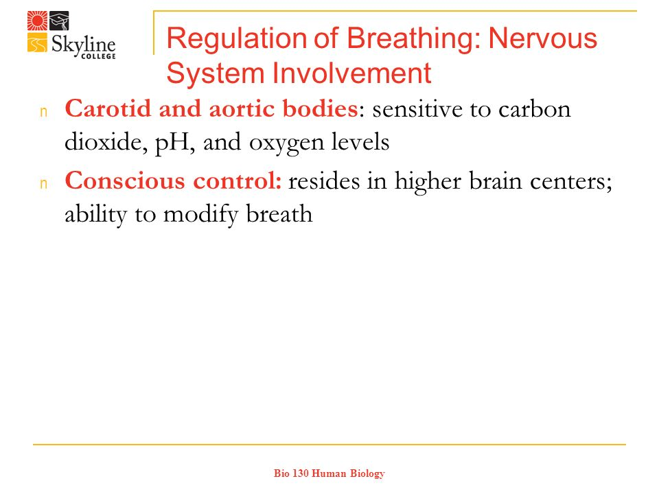 Bio 130 Human Biology Regulation of Breathing: Nervous System Involvement n Carotid and aortic bodies: sensitive to carbon dioxide, pH, and oxygen levels n Conscious control: resides in higher brain centers; ability to modify breath