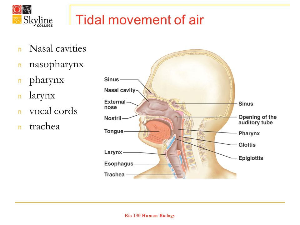 Bio 130 Human Biology Tidal movement of air n Nasal cavities n nasopharynx n pharynx n larynx n vocal cords n trachea