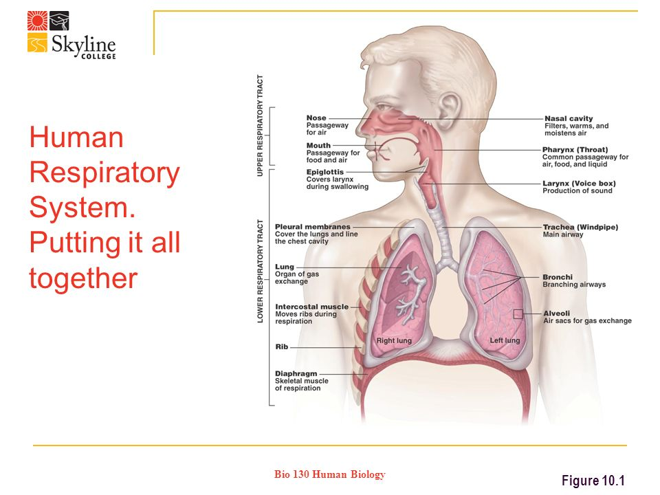 Bio 130 Human Biology Human Respiratory System. Putting it all together Figure 10.1