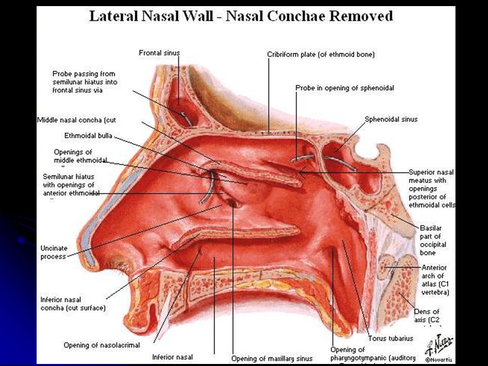 Lateral nasal wall anatomy 101364 - follow4more.info