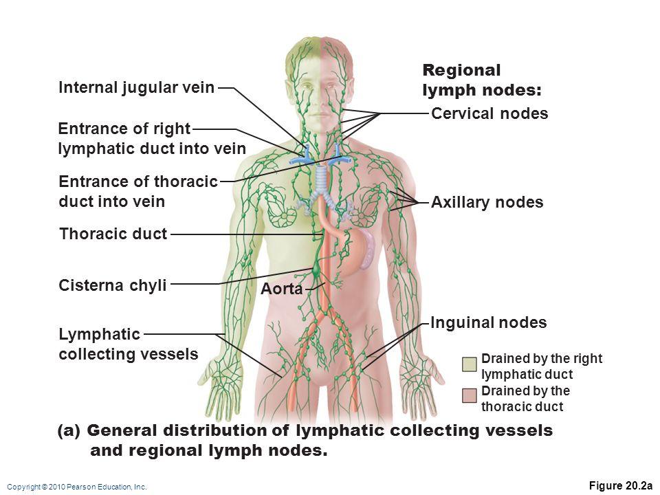 Atemberaubend Weiblich Lymphsystem Diagramm Zeitgenössisch ...