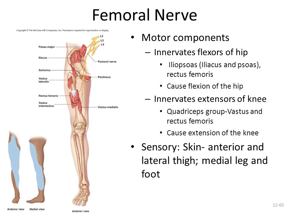 femoral nerve innervation – applecool, Muscles
